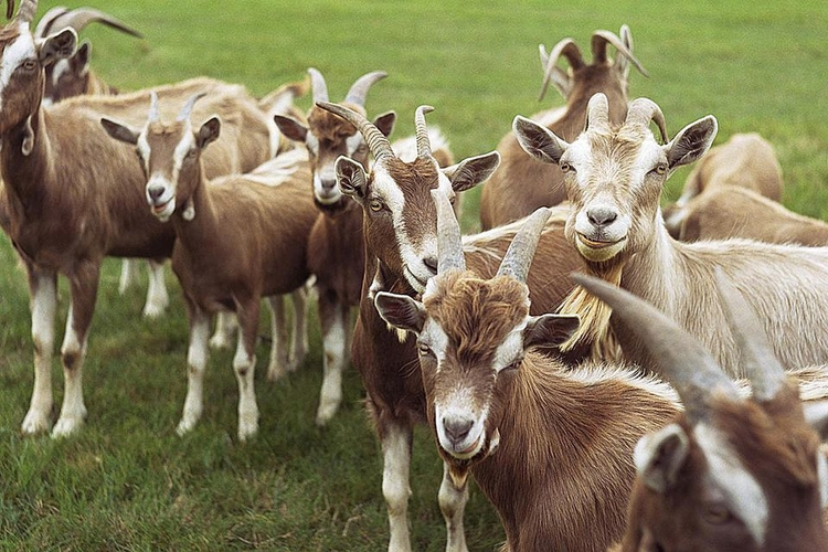 goats-resized-57bb57ee3df78c8763fba0c8.jpg